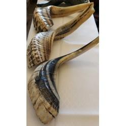 Шофар (бараний рог) для трубления, 40-44 см по изгибу